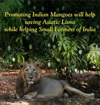 Buy Indian Mangoes Online | Queen Kesar Mango | Gift Mango